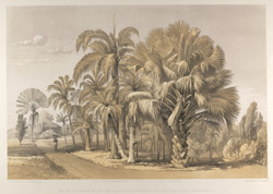 Group of palms at the entrance of the Royal Botanic Gardens, Pardinia